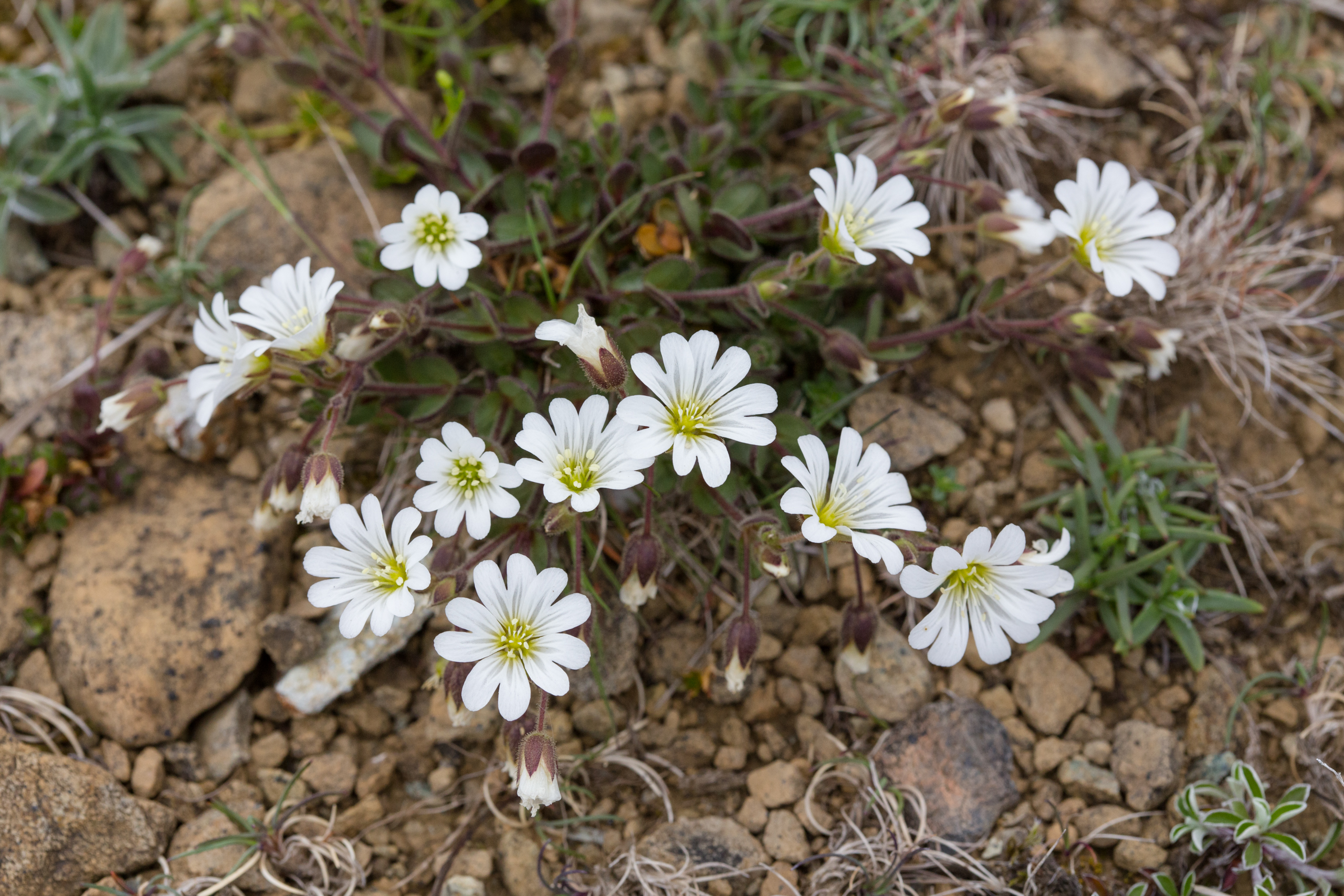Edmonston's Chickweed is a flower that only grows in Unst